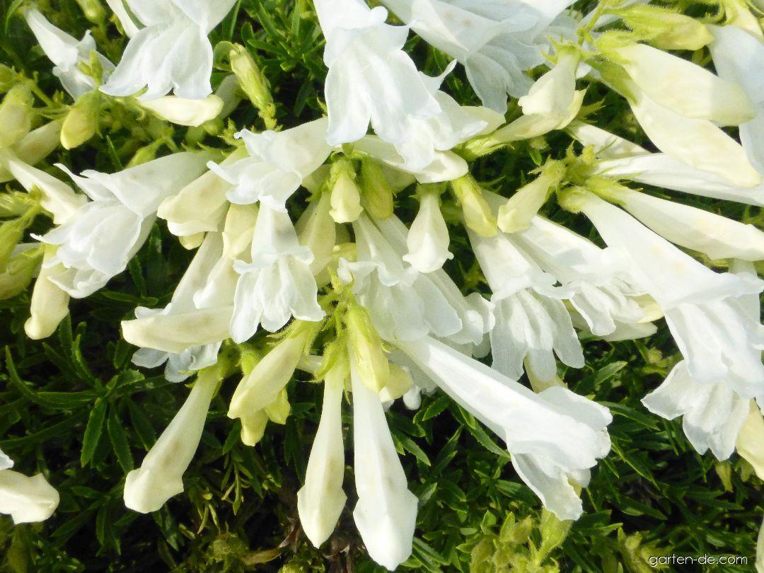 Dračík (Penstemon fruticosus var scouleri)