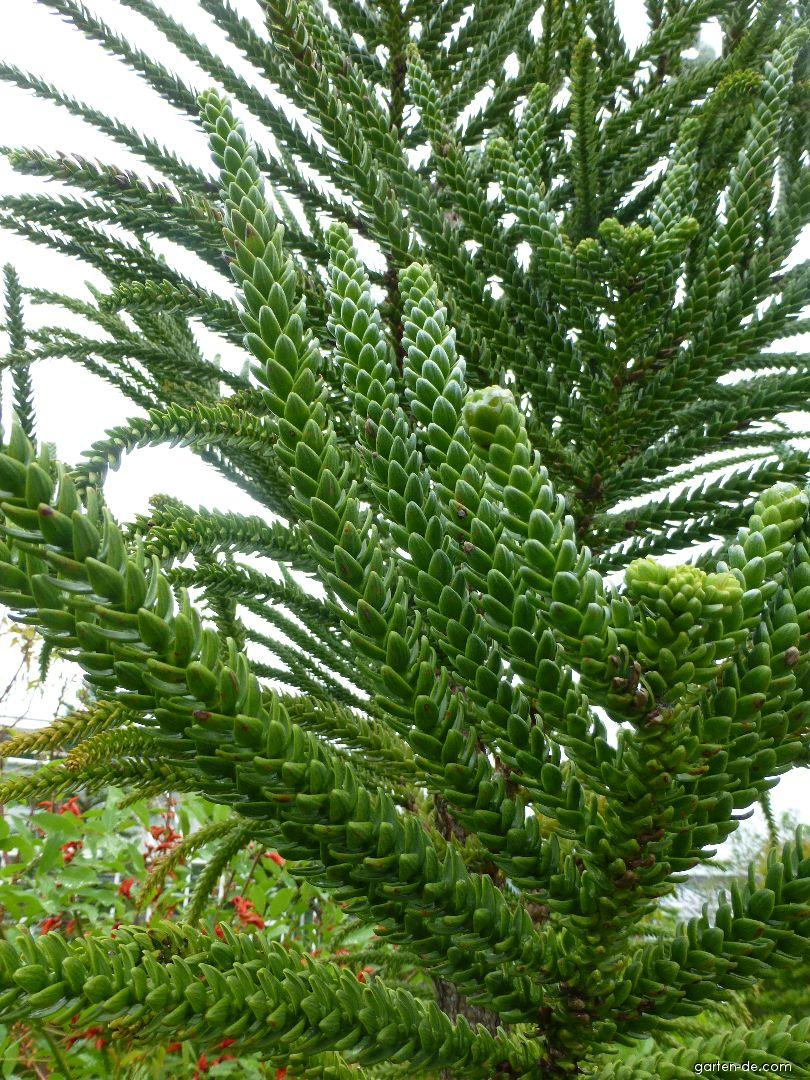 Blahočet (Araucaria laubenfelsii)