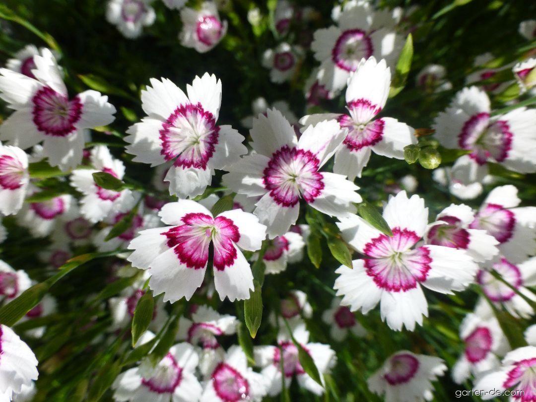 Heidenelke - Dianthus deltoides Arctic Fire