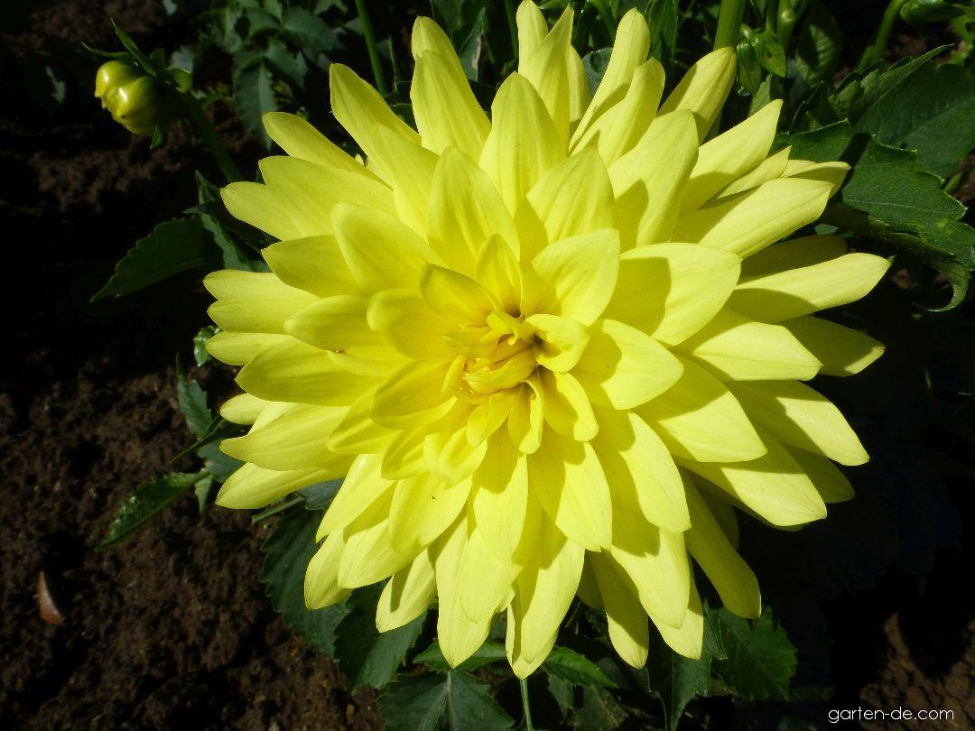 Jiřina Durango - květ (Dahlia)