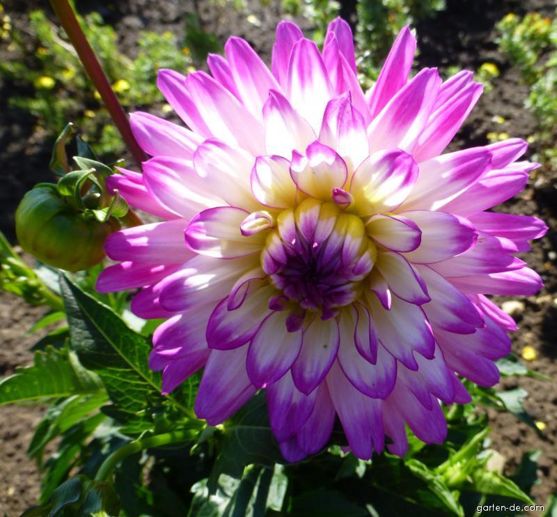 Jiřina Veracruz - květ (Dahlia)