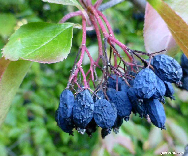 Kalina višňolistá - větévka s plody (Viburnum prunifolium)