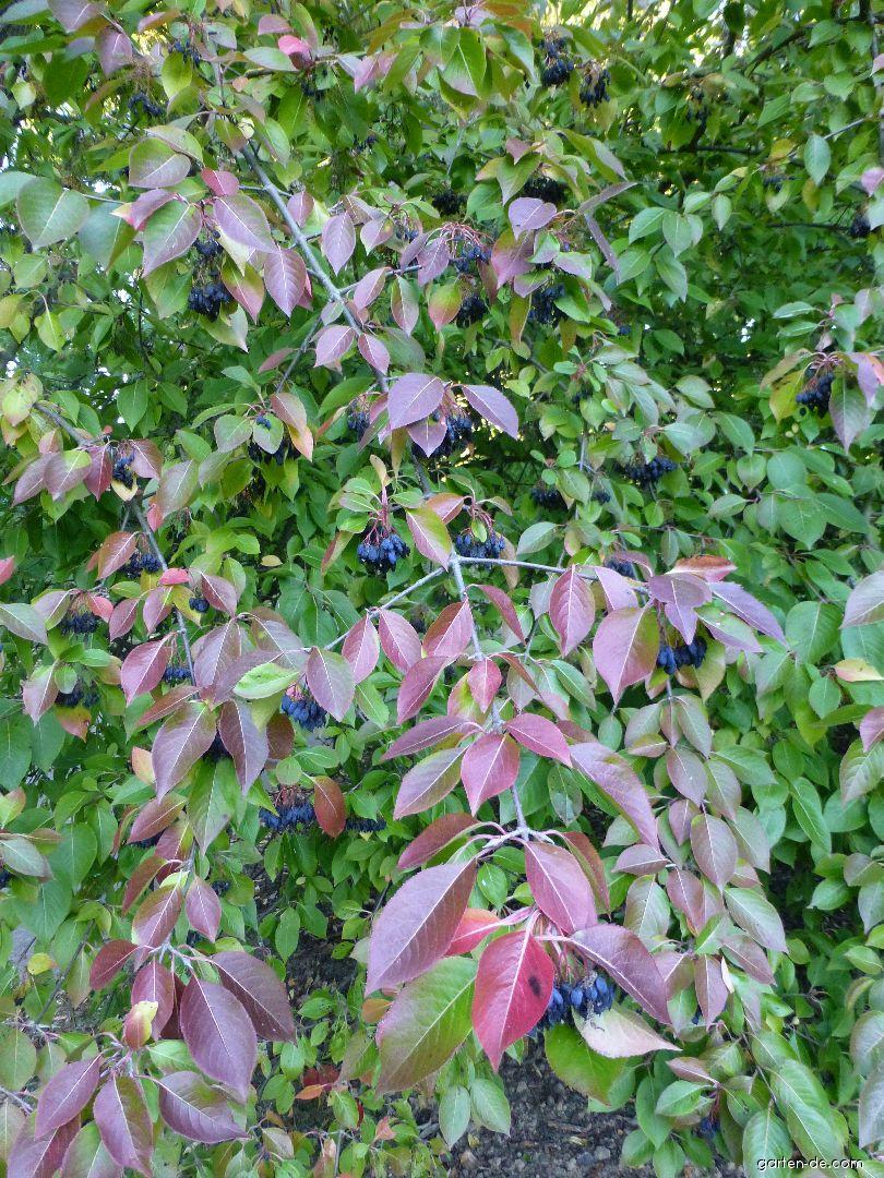 Kalina višňolistá - větévky s plody (Viburnum prunifolium)