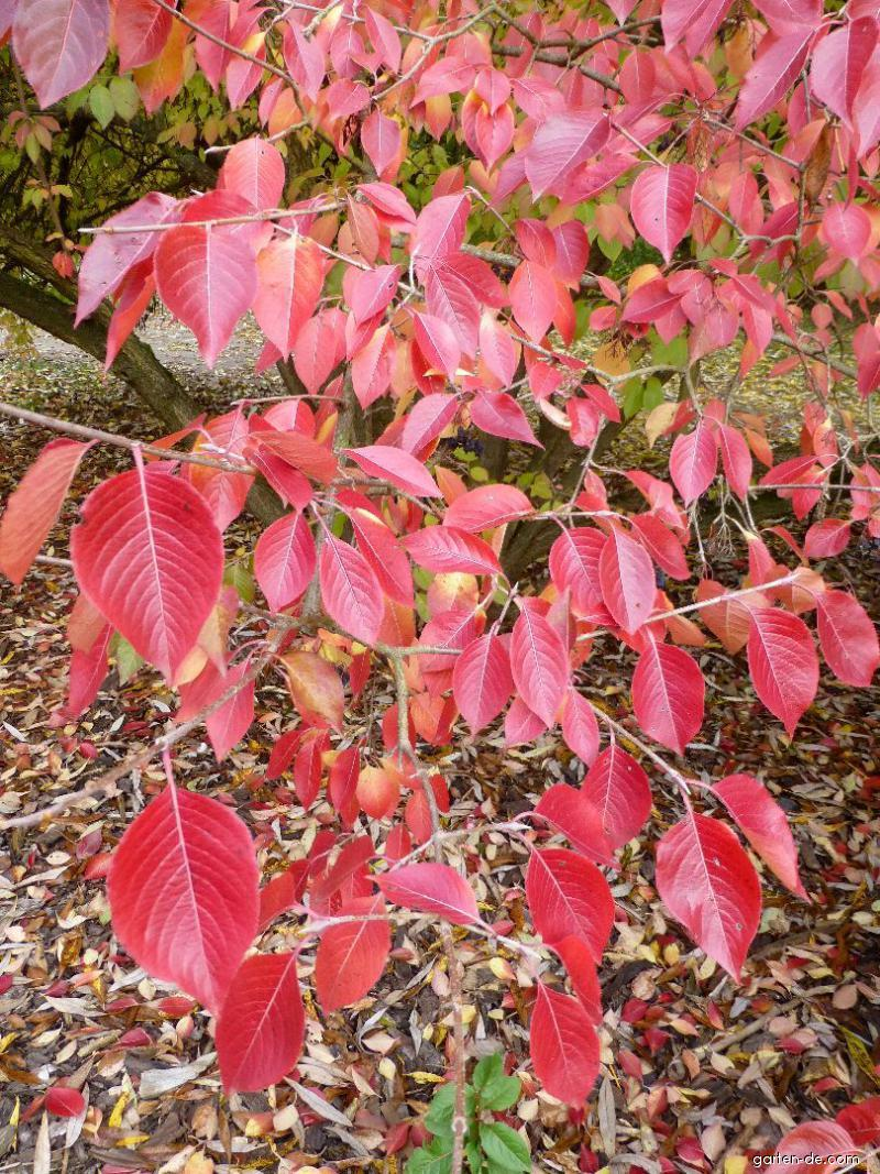 Kalina višňolistá - podzimní barvení (Viburnum prunifolium)