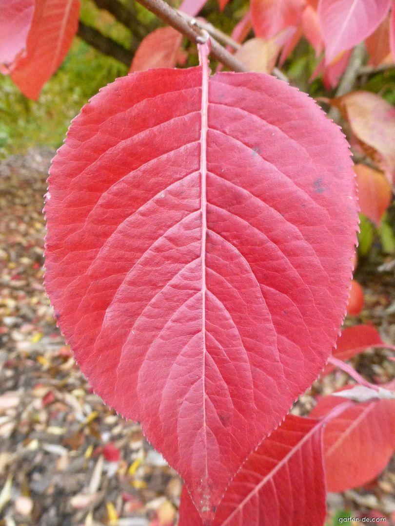 Kalina višňolistá - podzimní list (Viburnum prunifolium)