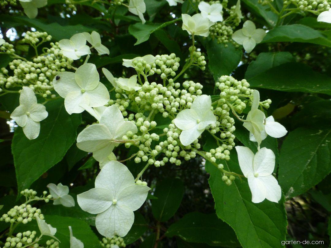 Hortensie Annabell photos wald hortensie annabelle blüten garten de com