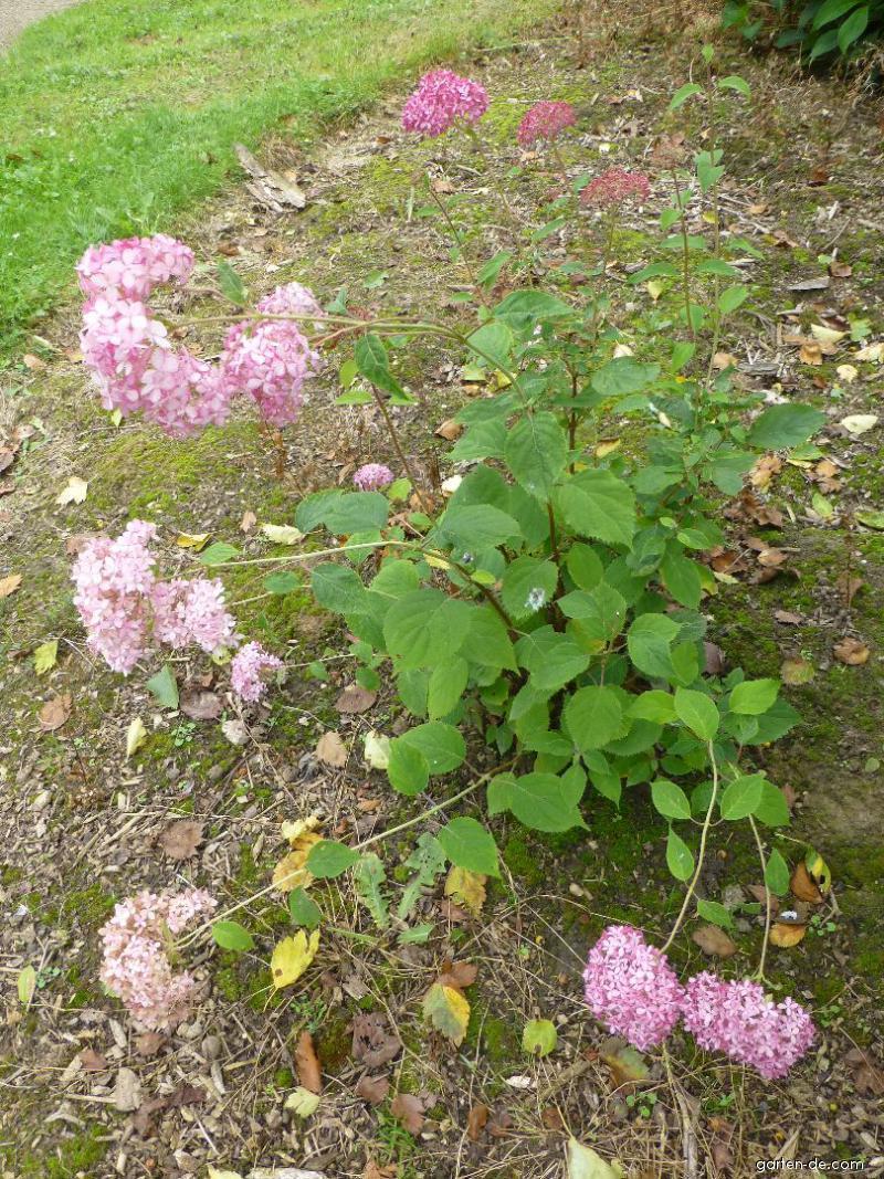 Hortensie Annabell hortensie pink uvanille fraiseu with hortensie pink top forever u