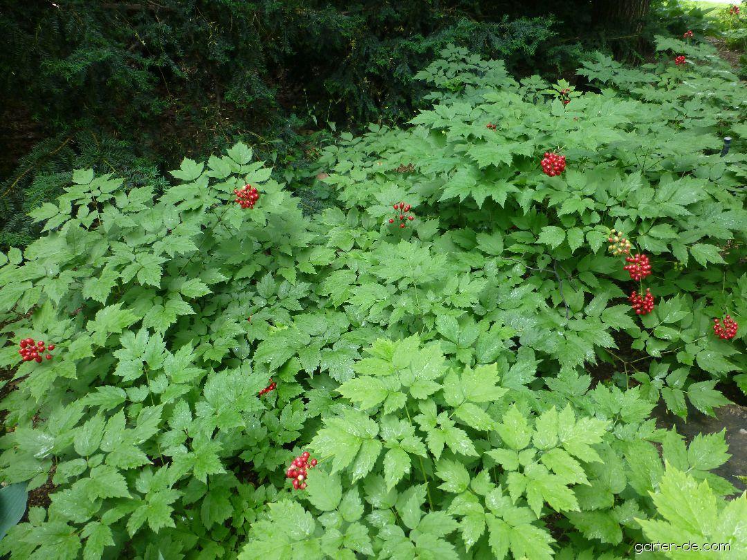 Rotfrüchtiges Christophskraut - Actaea rubra
