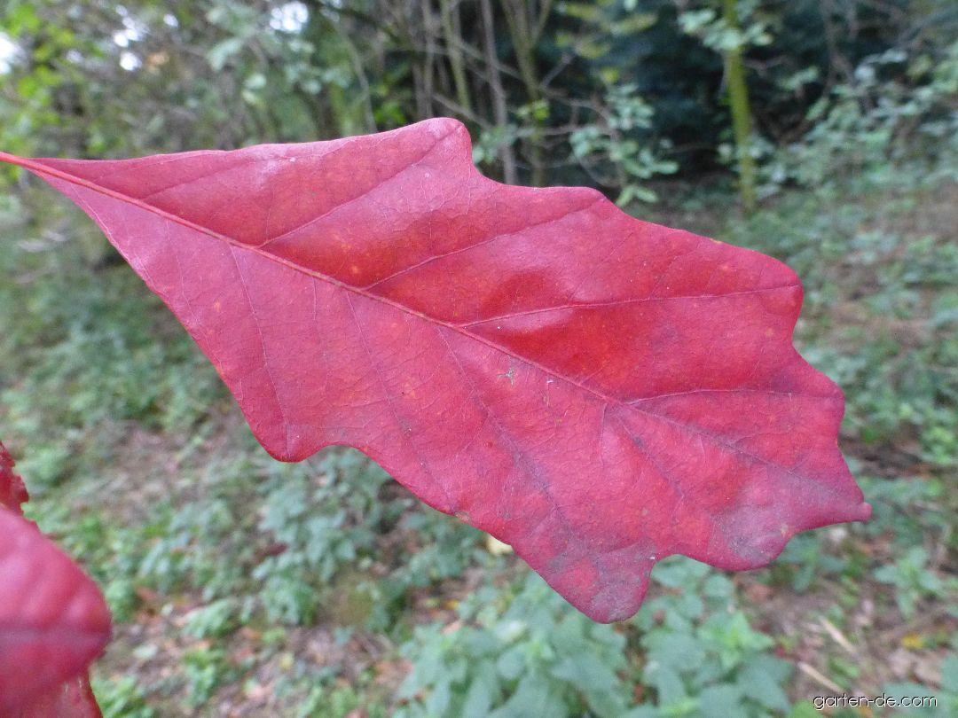 Zweifarbige Eiche - Quercus bicolor