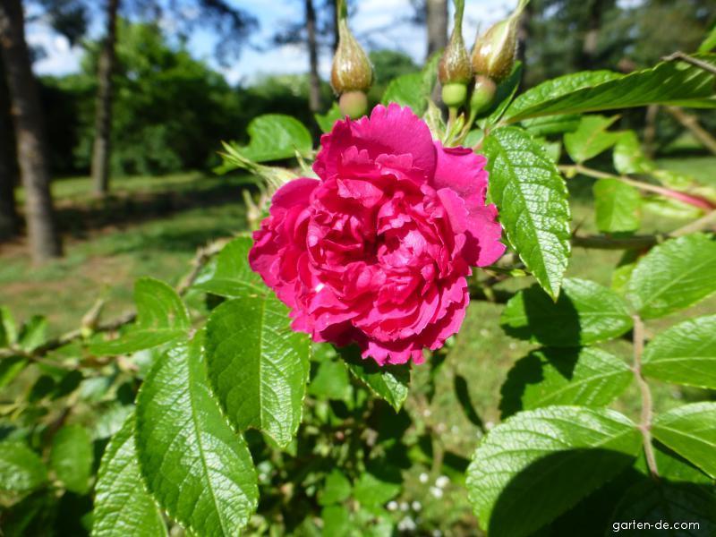 Kartoffel-Rose - Rosa rugosa F. J. Grootendorst