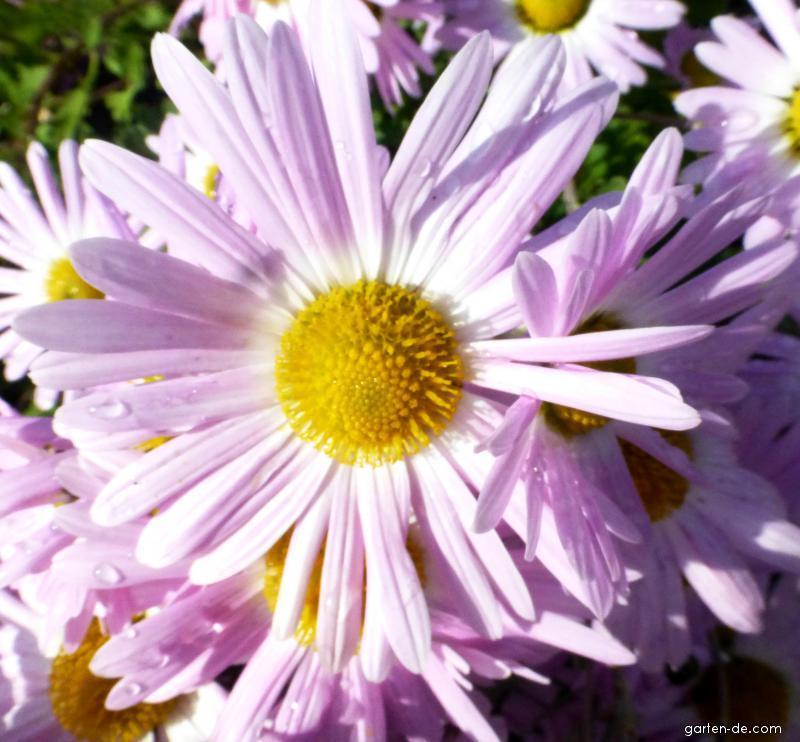 Chrysantheme - Chrysanthemum hybridum Gerlinde