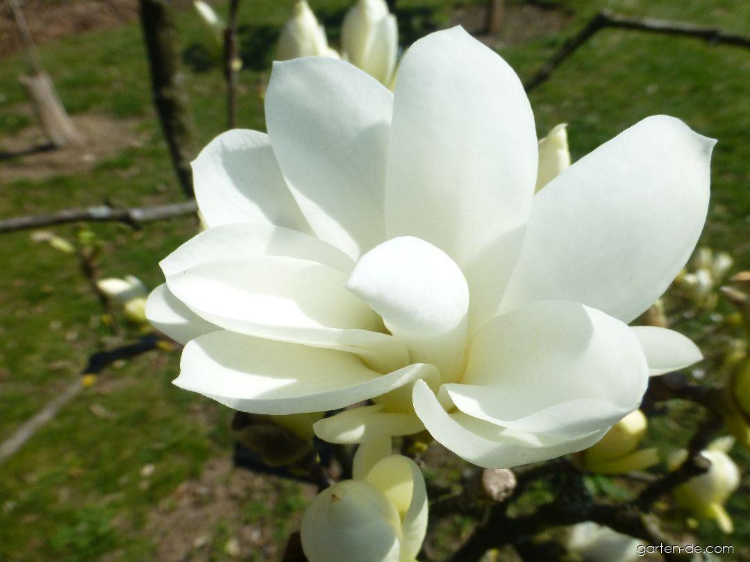 Magnolie - Magnolia Pristine