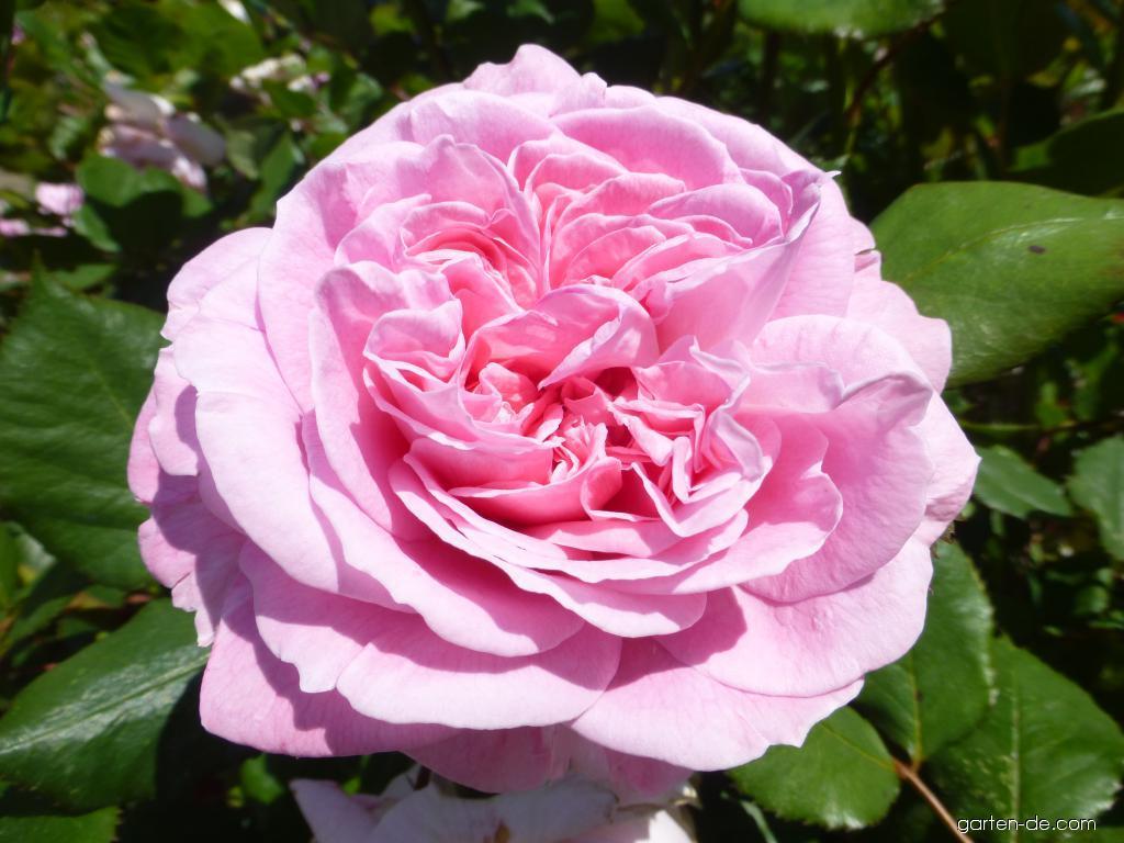 Rose - Rosa Rosengräfin Marie Henriette