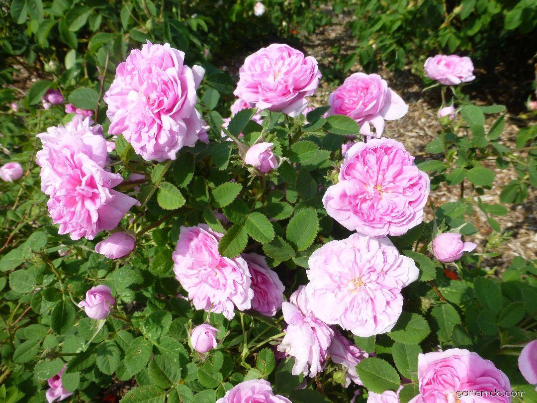 Rose - Rosa De Meaux
