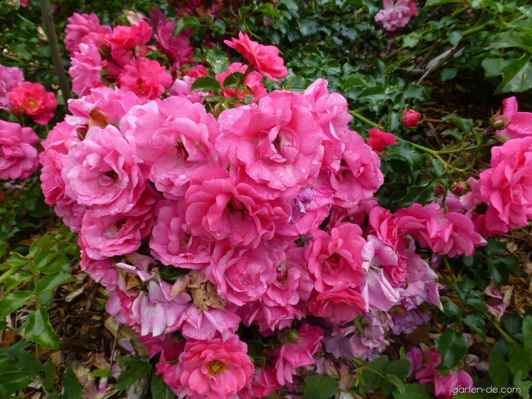 rose rosa heidetraum garten. Black Bedroom Furniture Sets. Home Design Ideas