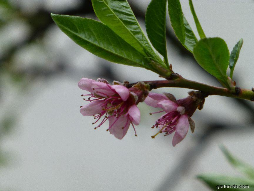 Broskvoň - květ a list (Prunus persica)