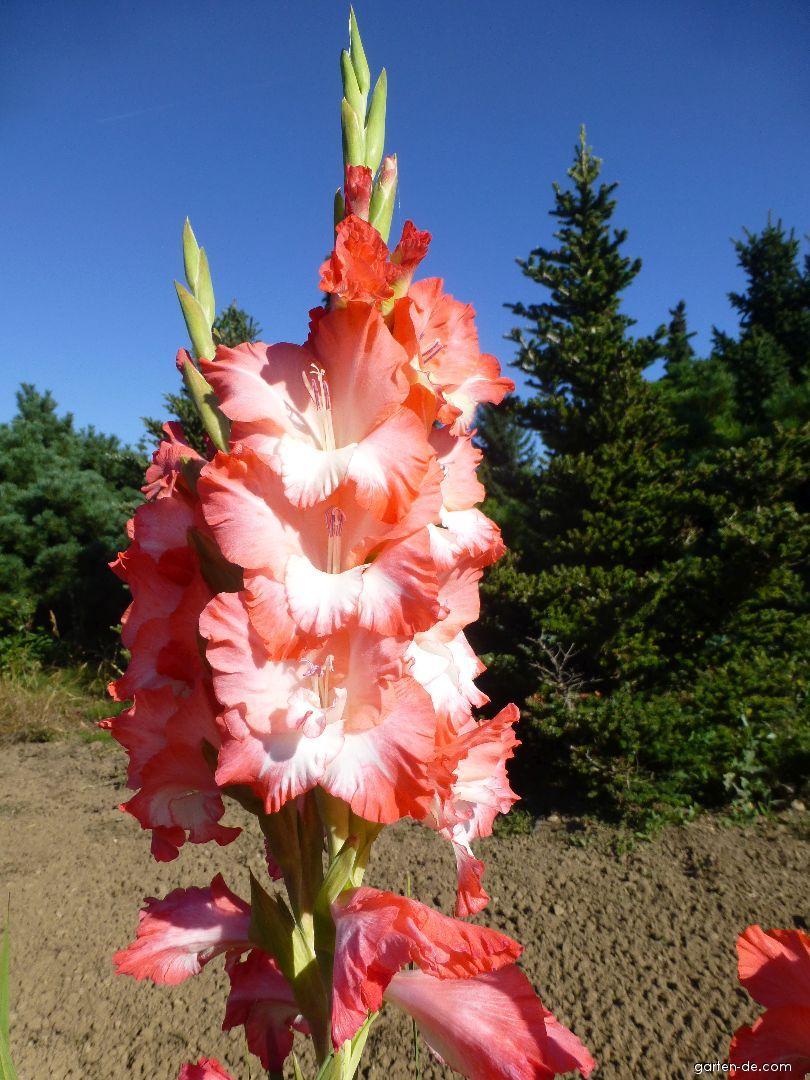 Mečík Pink Lady (Gladiolus x hybridus)