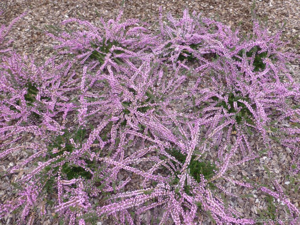 Besenheide - Calluna vulgaris County Wicklow