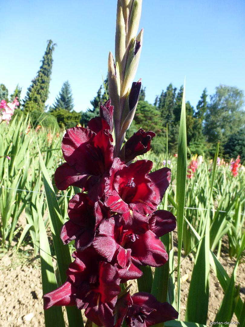Mečík Forkýs (Gladiolus x hybridus)