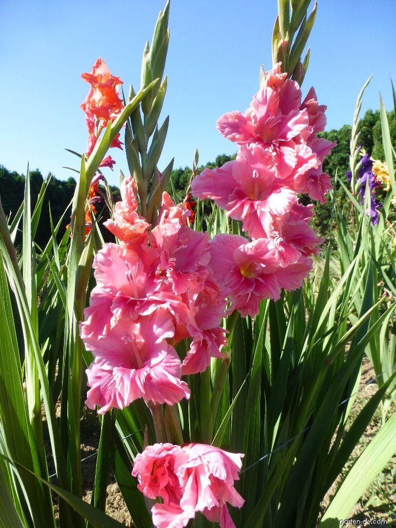 Gladiolen - Gladiolus Fatima