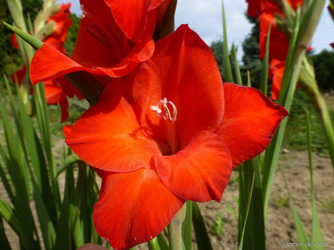 Mečík Mascagni - květ (Gladiolus x hybridus)