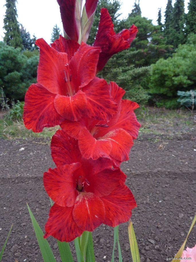 Mečík Oskar (Gladiolus x hybridus)
