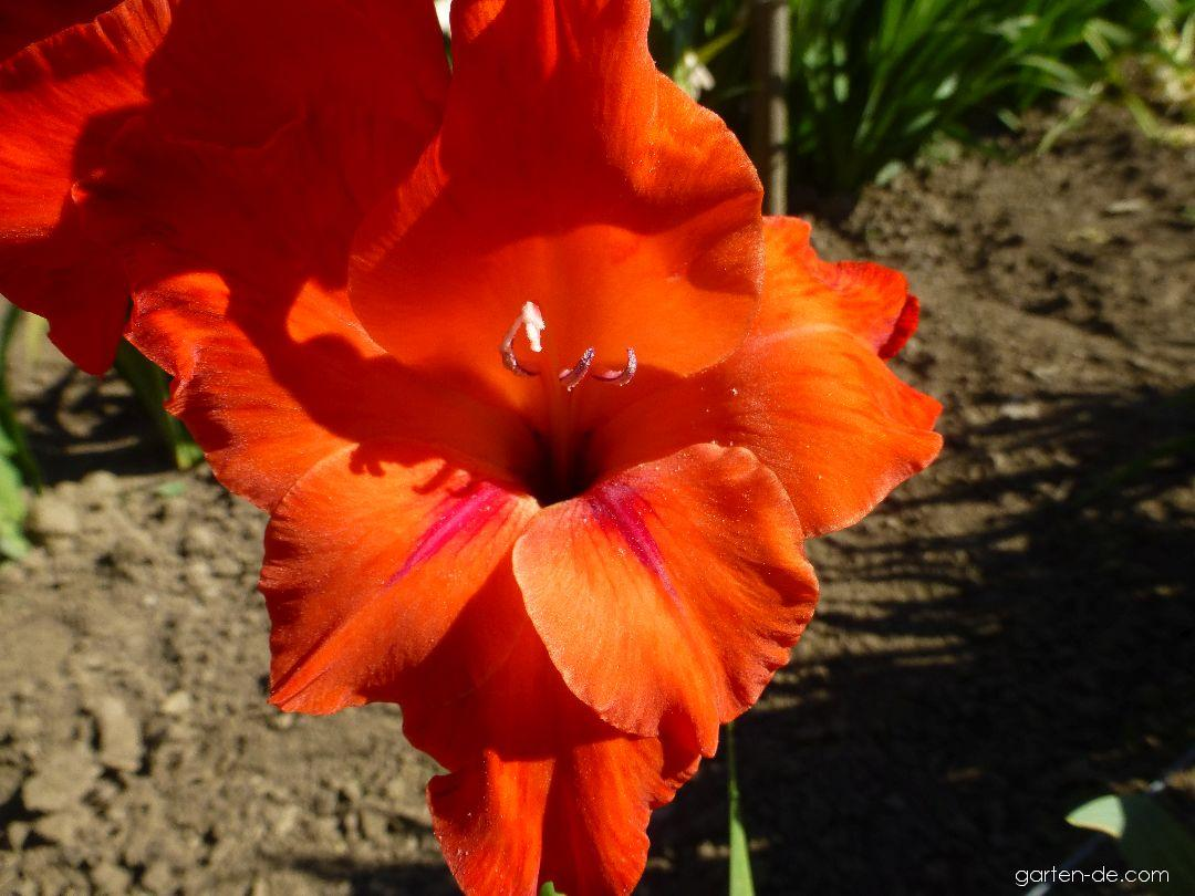 Mečík Atlas - květ (Gladiolus x hybridus)