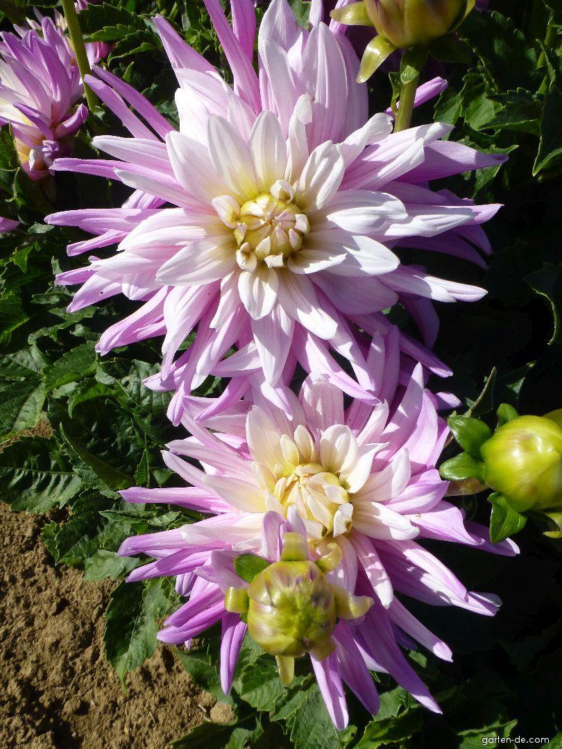 Garten-Dahlie - Dahlia Adéla