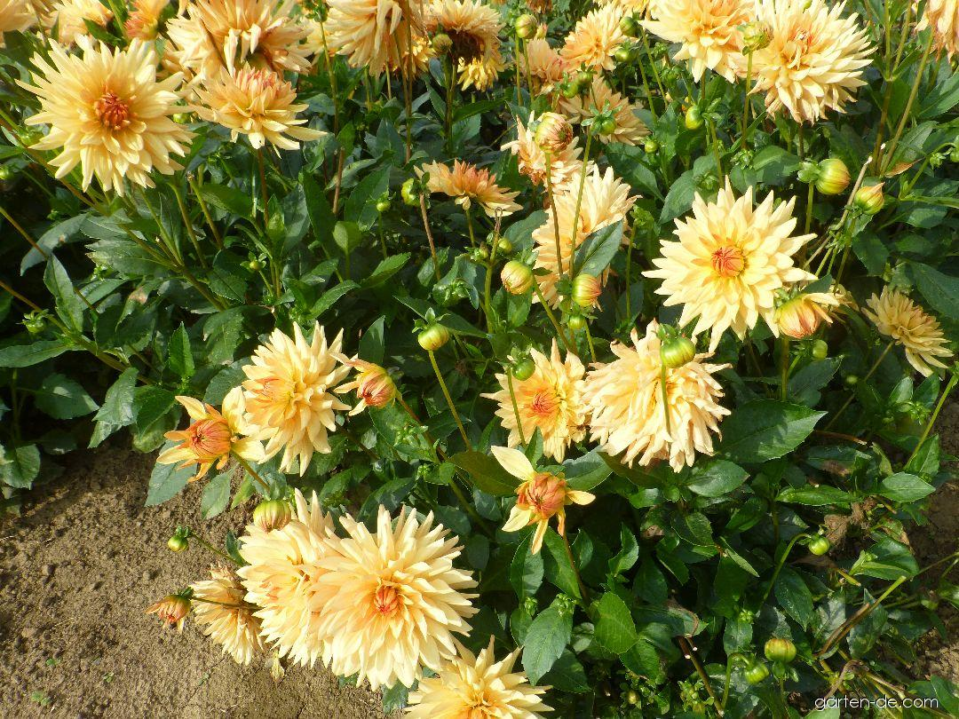 Garten-Dahlie - Dahlia Hana