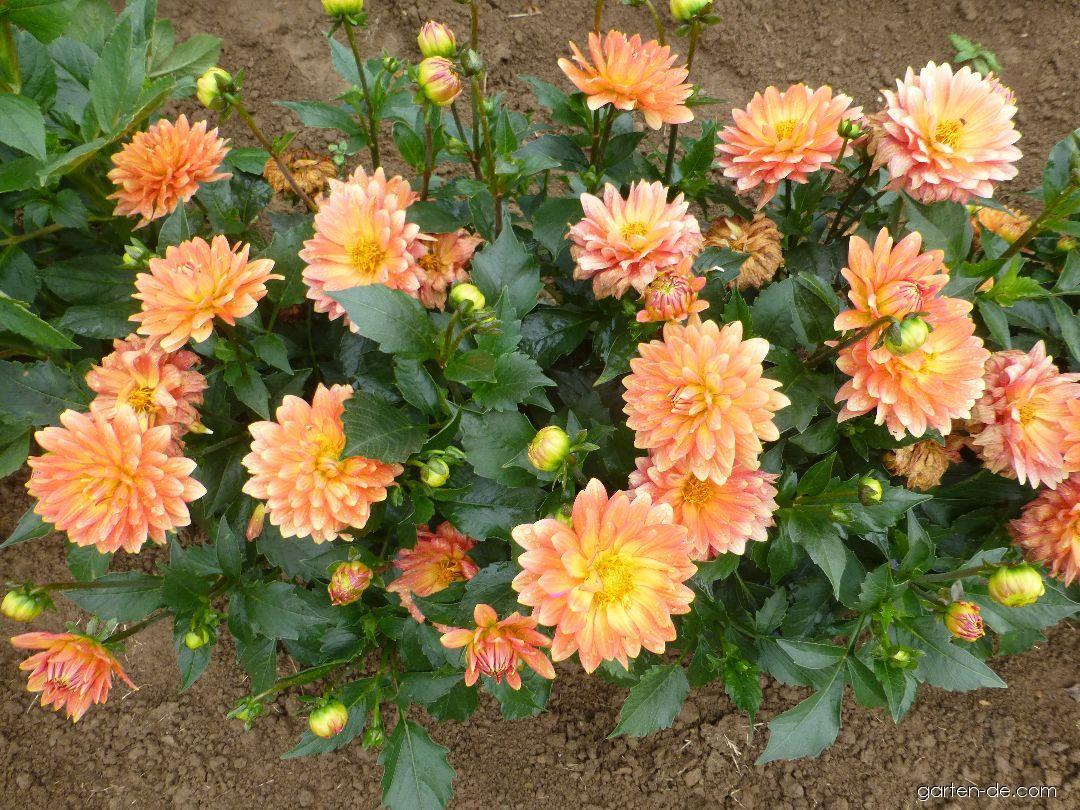 Garten-Dahlie - Dahlia Aquarius