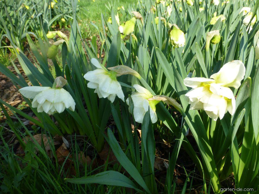 Narzisse - Narcissus Unique