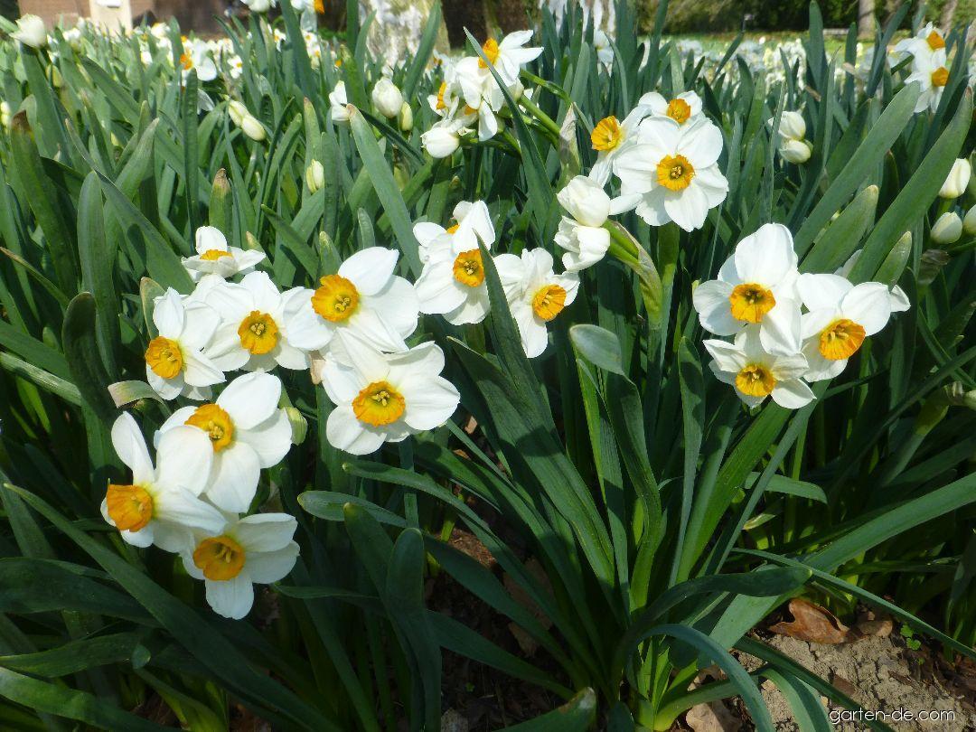 Narcis Geranium (Narcissus x hybridus)