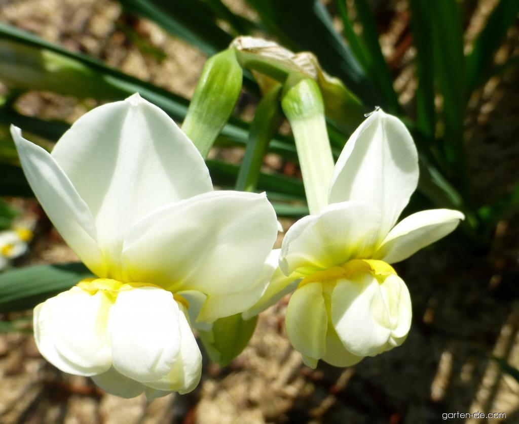Narzisse - Narcissus Cheerfulness