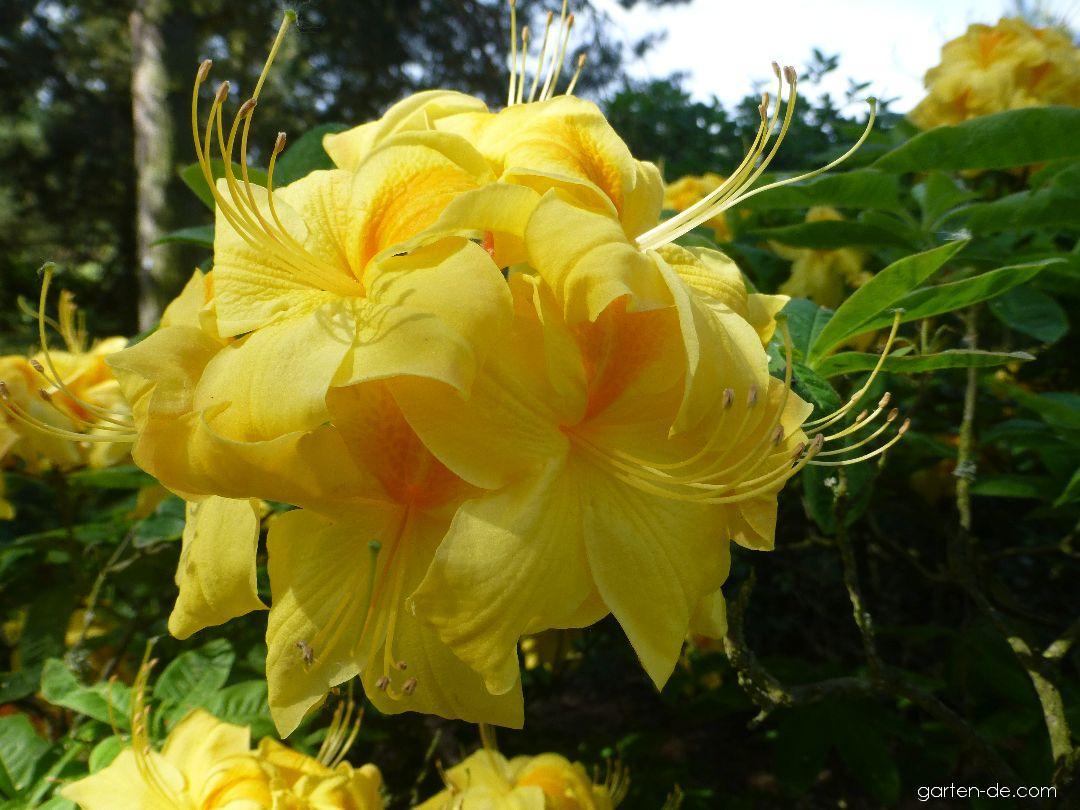 Alpenrose - Rhododendron Golden Sunset