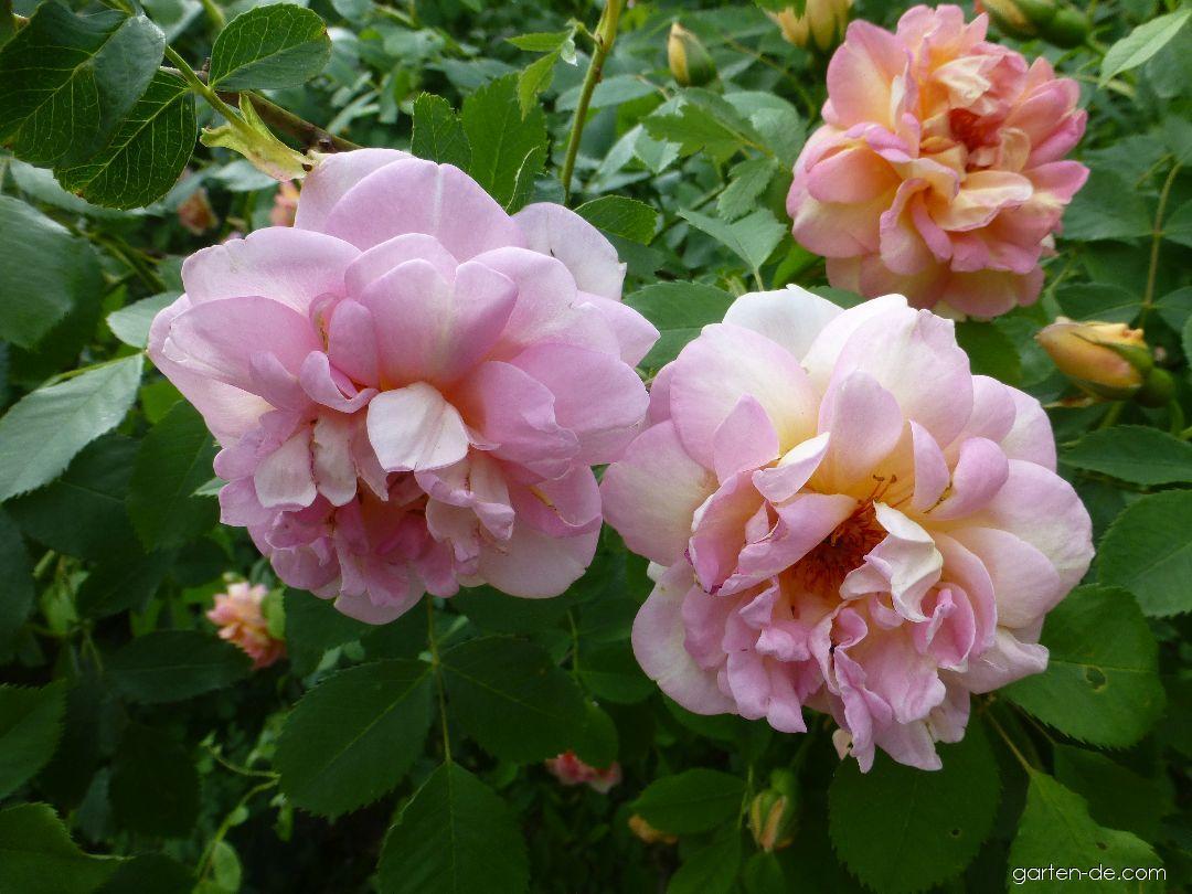 Rose - Rosa Frühlingsduft