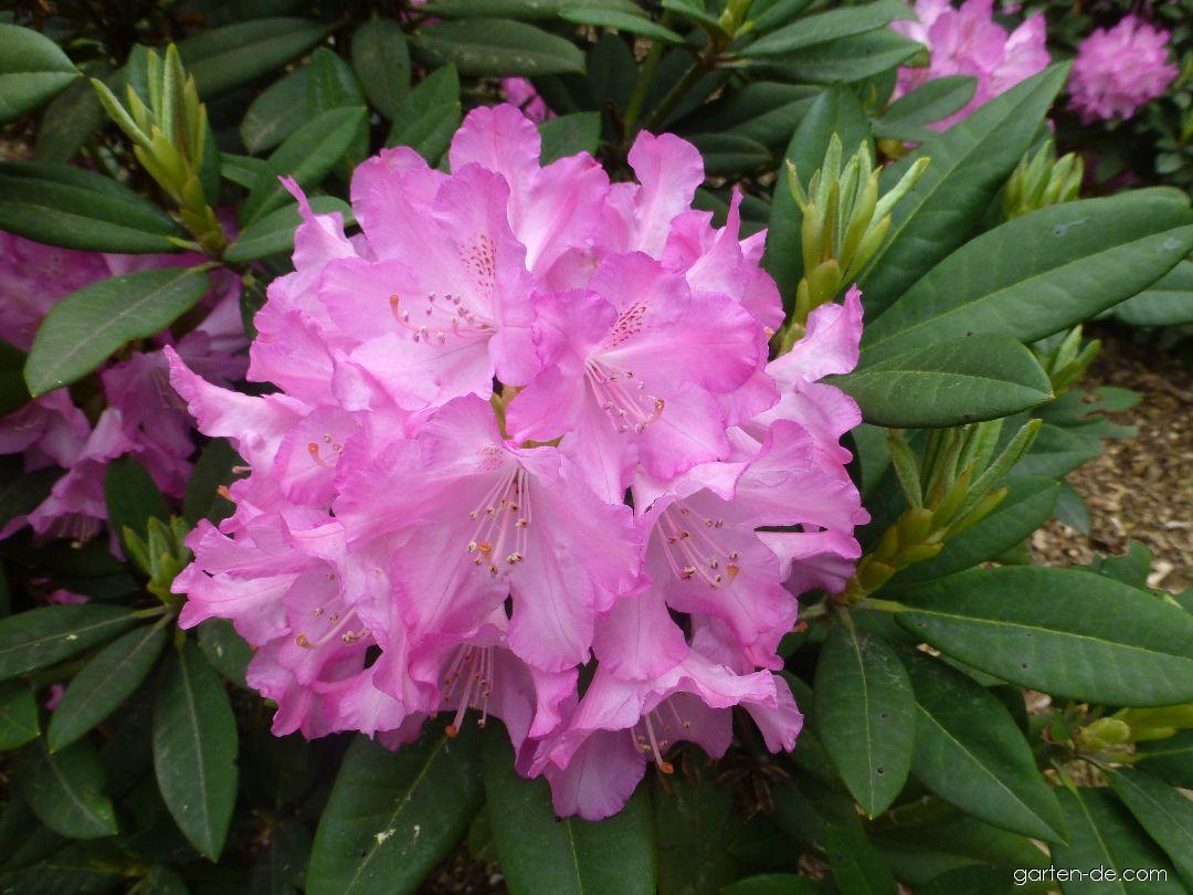 Pěnišník výborný Roselyn (Rhododendron insigne)