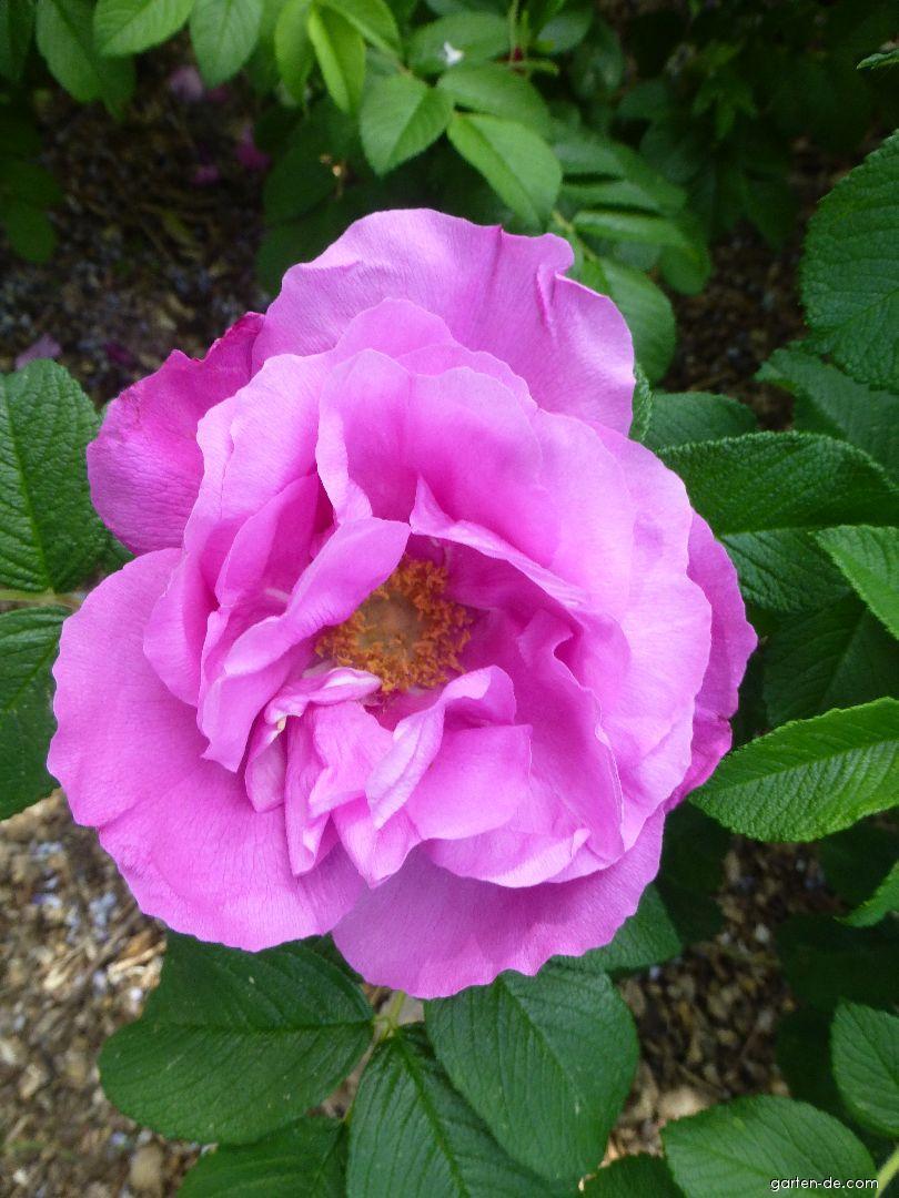 Kartoffel-Rose - Rosa rugosa Foxi