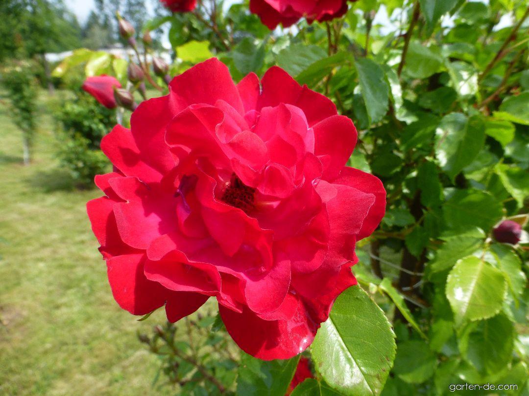 Rose - Rosa Hamburger Phoenix