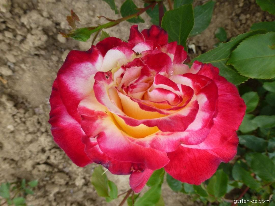 Rose - Rosa Double Delight
