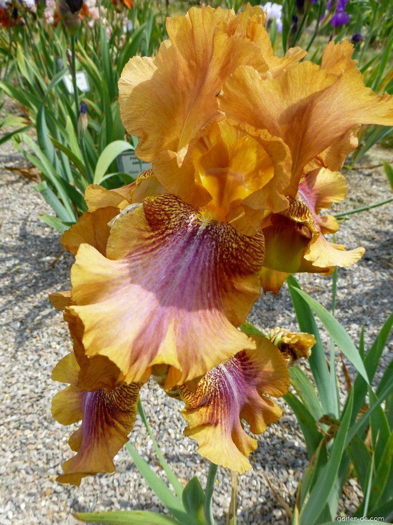 Bart-Schwertlilie - Iris barbata Autumn Leaves