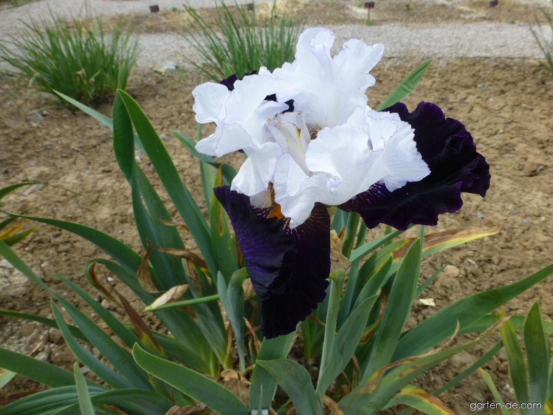 Bart-Schwertlilie - Iris barbata Domino Noir