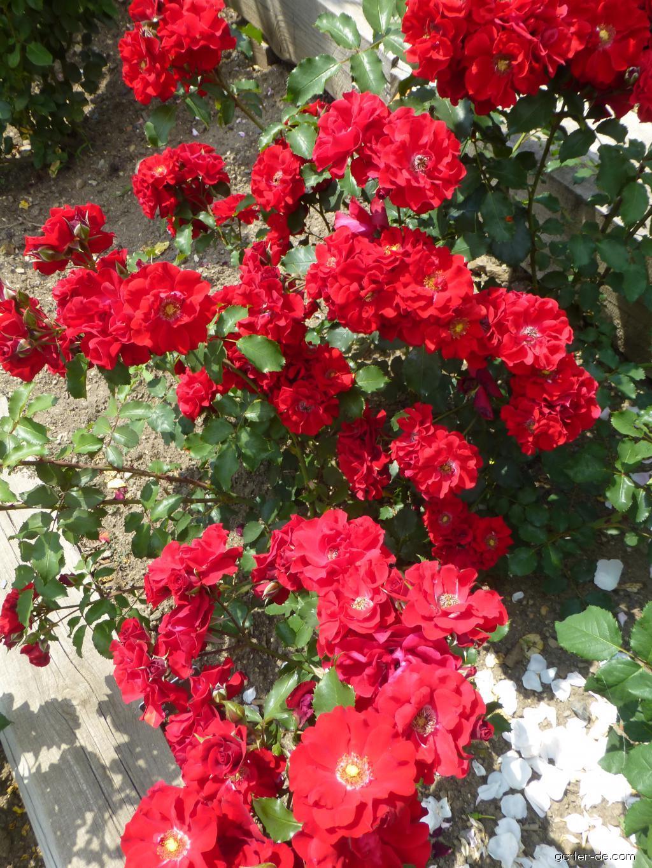 Rose - Rosa Roter Korsar