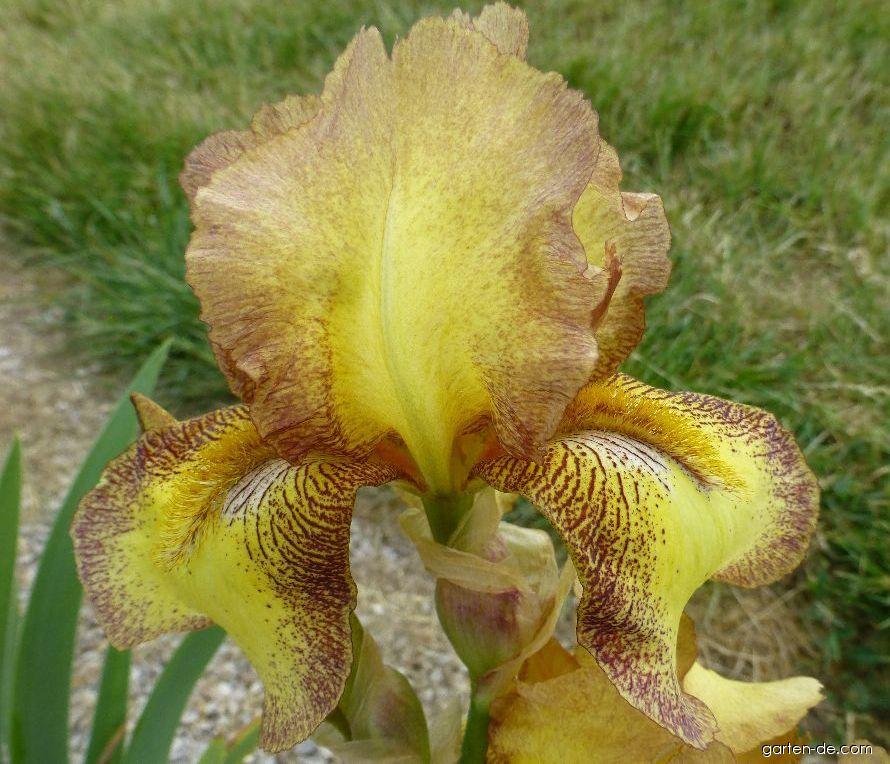 Bart-Schwertlilie - Iris barbata Balmung