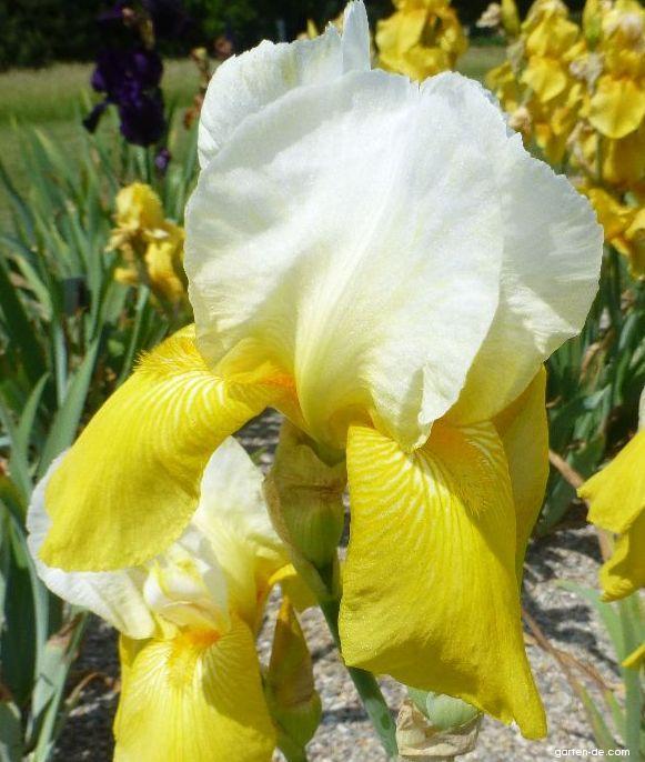 Bart-Schwertlilie - Iris barbata Jessie Viette