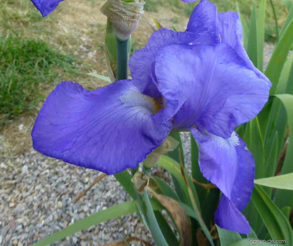 Bart-Schwertlilie - Iris barbata Foamy Wave