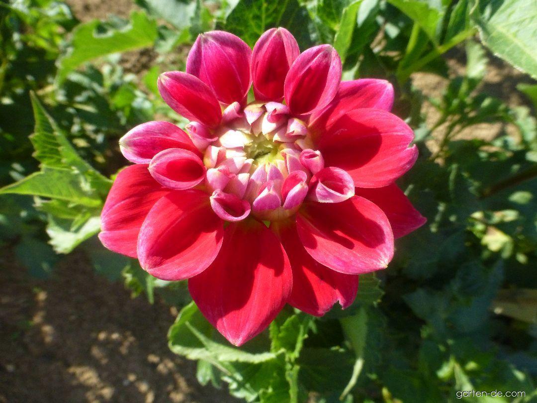 Garten-Dahlie - Dahlia Ance