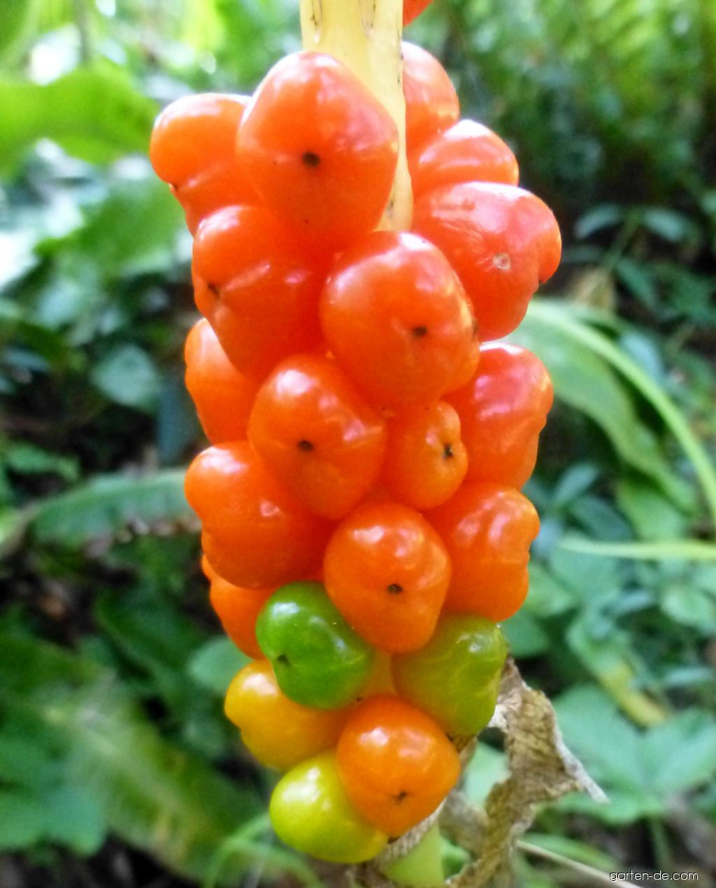 Italienische Aronstab - Arum italicum Marmoratum