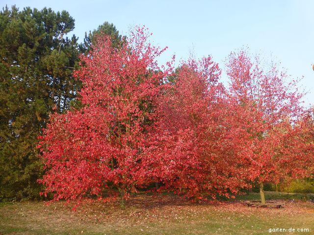 Rotahorn - Acer rubrum Red Sunset