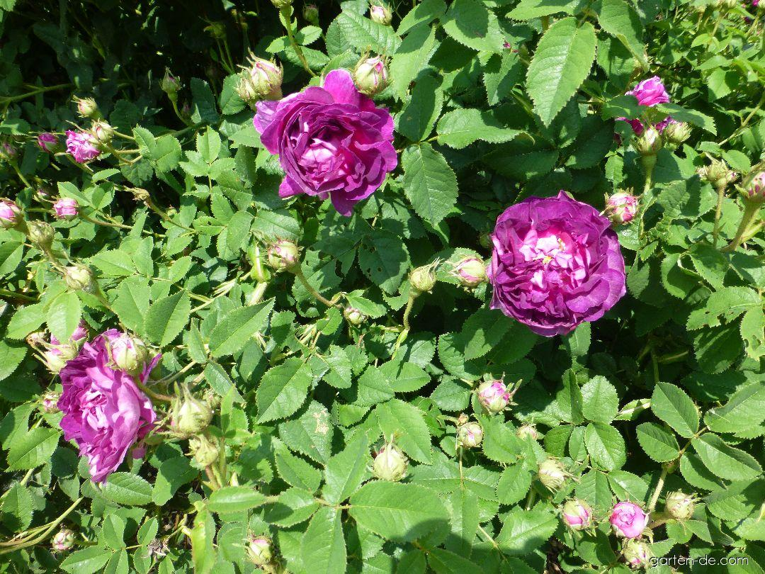 Rose - Rosa Belle de Crecy