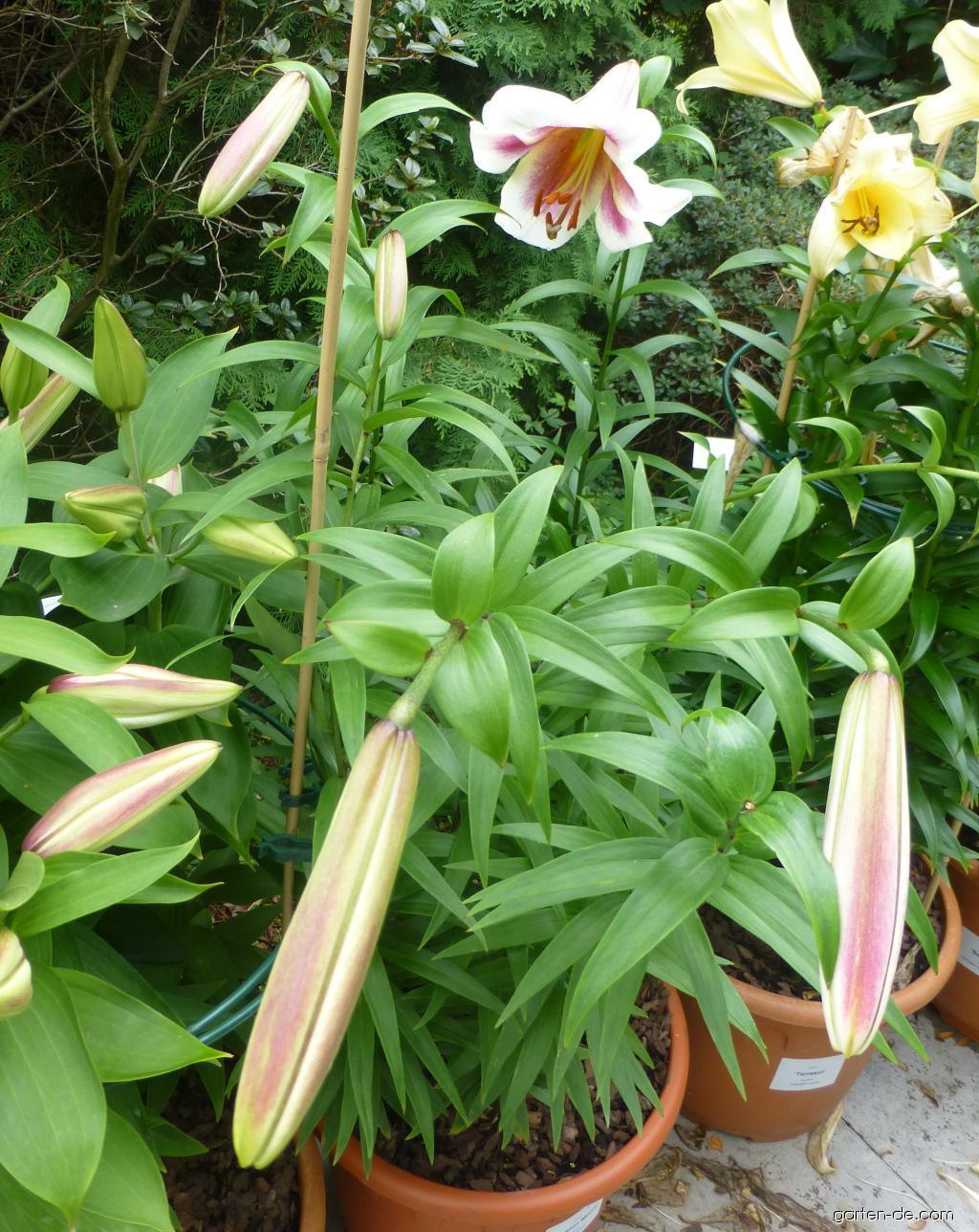 Lilie Lilium X Hybridum Passion Moon Garten Decom